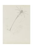 Campanularia Volubilis: Hydrozoan