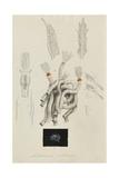 Lithonema Callista: Marine Worm