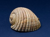 Giant Tun Shell