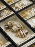 Hawaiian Tree Snails from the Linter Collection