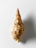 Trumpet Triton Shell