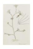 Plumularia Pinnata: Hydrozoan