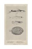 Exocoetus Hillianus  Clupea Lamprotaenia  Poecilia Melapleura and Monochirus Inscriptus  1851