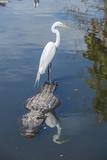 USA  Florida  Orlando  Egret Riding on Alligator  Gatorland