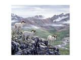 Dall Sheep at Denali
