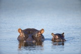 Hippo Cow and Calf  South Africa