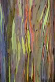 Rainbow Eucalyptus Trees (Eucalyptus Deglupta)