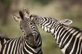 Zebras, South Africa Papier Photo par Richard Du Toit