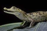 Caiman Crocodilus) (Spectacled Caiman) Papier Photo par Paul Starosta