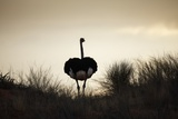 Ostrich Silhouette  South Africa