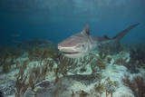 Tiger Shark in the Bahamas Papier Photo par Stephen Frink