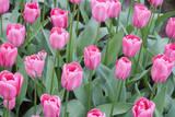 Nico Vos Tulips