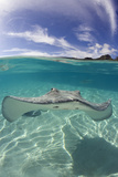 Tahitian Stingray in French Polynesia
