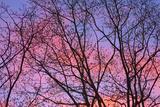 Dark Oak Trees against Fiery Sky at Sunset