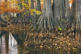 Close-Up of Cypress Tree Trunks  Bayou  New Orleans  Louisiana  USA
