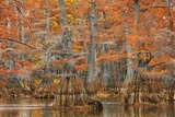 Cypress Trees in Autumn Colors  Bayou  New Orleans  Louisiana  USA