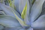 Agave Plants on the Island of Maui