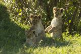 Africa Lion Cubs Playing