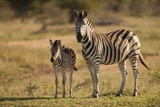 Burchell's Zebra Foal and Mother
