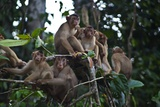 Troupe of Stump-Tailed Macaques (Macaca Arctoices)