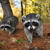 Curious Raccoons Papier Photo par Steve Terrill