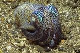 Berry's Bobtail Squid Papier Photo par Hal Beral