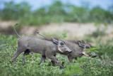 Warthog Piglets  Botswana