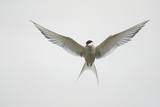 Arctic Tern Hovering in Flight