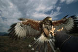 Harris' Hawk Lands on Falconer's Glove