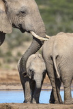 African Elephant (Loxodonta Africana) Mother and Baby at Hapoor Waterhole