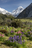 Lupins and Mount Cook  Mount Cook Village  Mount Cook National Park