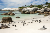 African Penguins on Sand at Foxy Beach with Residential Homes in Background