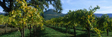 Vineyard at Chateau St Jean Winery  Kenwood  Sonoma County  California  USA