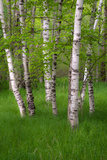 Birch Trees in the Great Meadow  Acadia National Park  Maine  USA