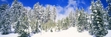 Pine Trees on a Snow Covered Hill  Breckenridge  Summit County  Colorado  USA