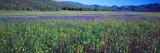 Flowers in a Field  Salmon  Idaho  USA