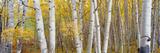 Aspen Trees in a Forest, Colorado, USA Papier Photo par Panoramic Images