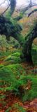 Oak Trees in a Forest  Wistman's Wood  Dartmoor National Park  Devon  England