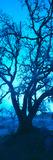 Silhouette of Oaks Trees  Central Coast  California  USA