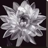 White Dahlia I