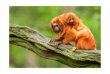 Tamarin Monkey and Baby