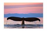 Humpback Fluke and Sunset
