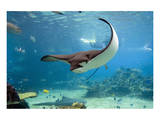 Spotted Eagle-rays - Aetobatus Reproduction d'art
