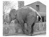 Elephant crossing Picket Fence