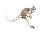 Boing  (Red Kangaroo)  2012