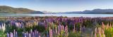Wild Lupins  Lake Tekapo  Mackenzie Country  Canterbury  South Island  New Zealand