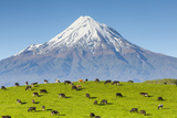 Mount Taranaki (Egmont) and Grazing Dairy Cows  Taranaki  North Island  New Zealand