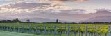 Picturesque Vineyard Illuminated at Sunset  Blenheim  Marlborough  South Island  New Zealand