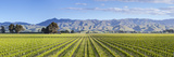 Picturesque Vineyard  Blenheim  Marlborough  South Island  New Zealand
