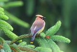 A Male Cedar Waxwing  Bombycilla Cedrorum  Perched on a Pine Tree Limb